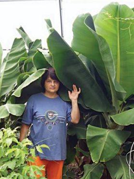 Банан Dwarf Cavendish (1 шт)