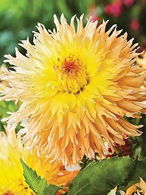 Жоржина кактусова бахромчата Mingus Joshua (1 шт) - 1