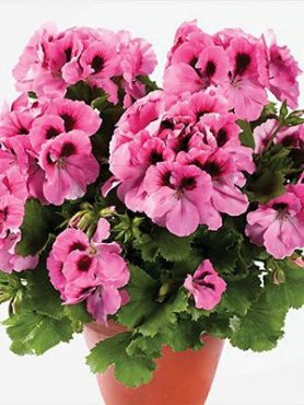 Пеларгония королевская Aristo Pink (1 шт)