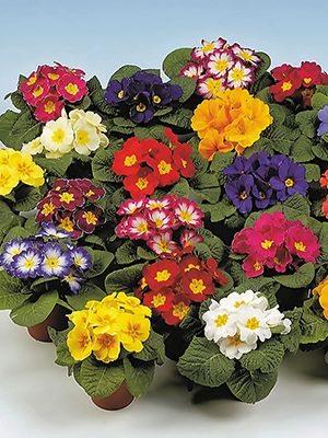 Примула обыкновенная раннего срока цветения, смесь (6 шт) - 1