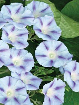 Іпомея пурпурова Dacapo Light Blue, блакитна з фіолетовим (0,5 г)