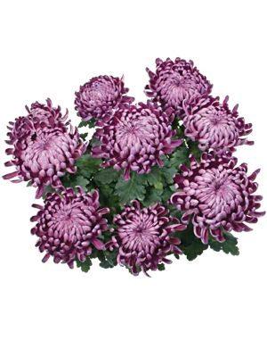Хризантема горшечная Angali (3 шт) - 1