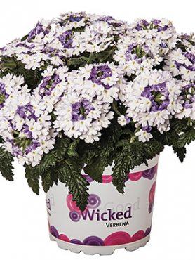 Вербена Wicked Purple (3 шт)