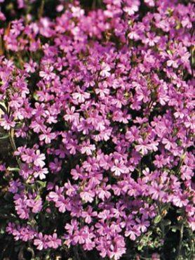 Эринус альпийский, лиловый (60 шт)