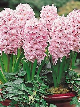 Гиацинт садовый China Pink 1415 (1 шт)