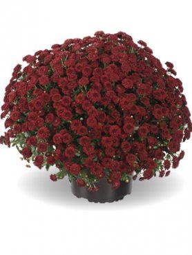 Хризантема мелкоцветковая низкорослая ZsaZsa Red (9 шт)