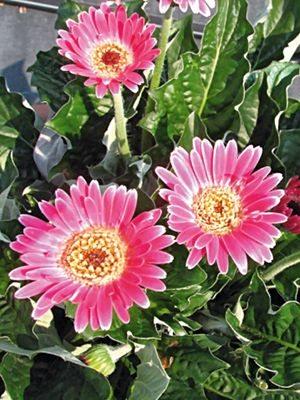 Гербера гибридная (садовая) Garvinea Pam (1 шт) - 1