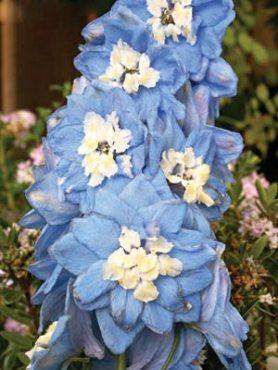 Дельфиниум гибридный Summer Skies, светло-голубой с белым центром (15 шт)