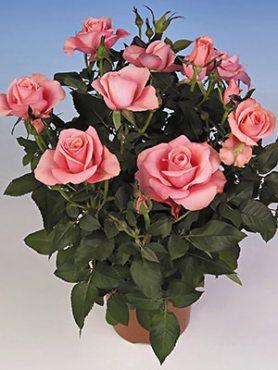 Роза горшечная Lady Star (1 шт)