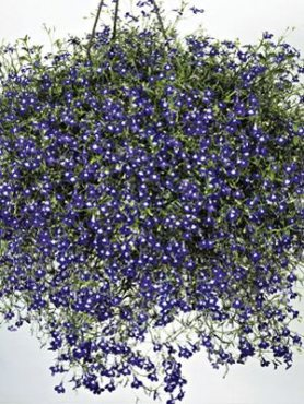 Лобелия эринус каскадная Sapphire, синяя с белым (0,2 г)