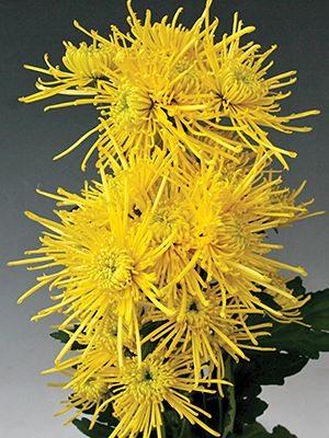 Хризантема срезочная Golden Spider (3 шт) - 1