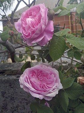 Роза столепестковая