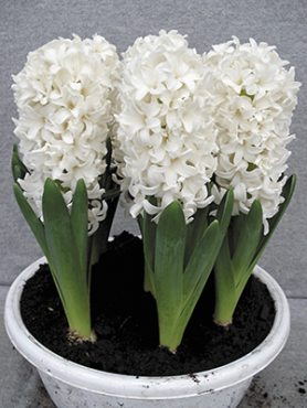 Гиацинт садовый Fairy White 1516 (350 шт)