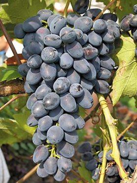 Виноград Надія Рання (1 шт)