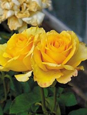 Роза чайно-гибридная Golden Medallion (1 шт)