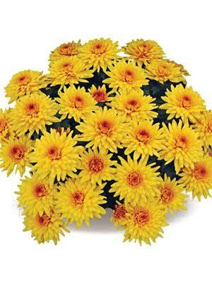 Хризантема горшечная San Jose (3 шт) - 1