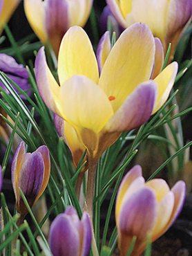 Крокус ботанический золотистый Advance 56 (3 шт)
