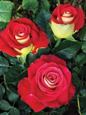 Роза чайно-гибридная Friendship (1 шт)
