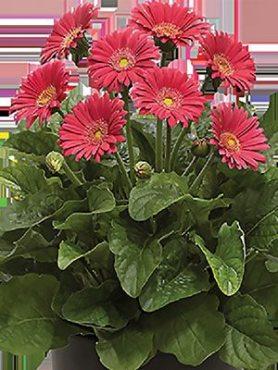 Гербера гібридна (садова) Garvinea Sweet Heart (1 шт)