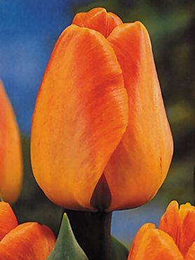 Тюльпани Дарвиновы гібриді. Daydream 1112 (3 шт)