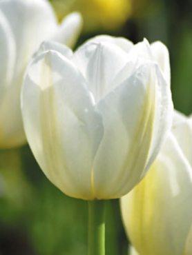 Тюльпаны Простые поздние Clear Water 1112 (3 шт)