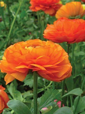 Лютик азиатский оранжевый (3 шт) - 1