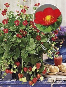 Земляника крупноплодная (клубника) Ruby Ann F1 (6 шт) осень