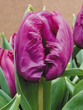 Тюльпаны Попугайные Parrot Prince 1112 (100 шт)