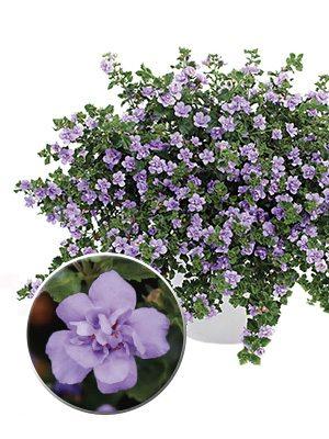Бакопа Double Lavender (3 шт) - 1