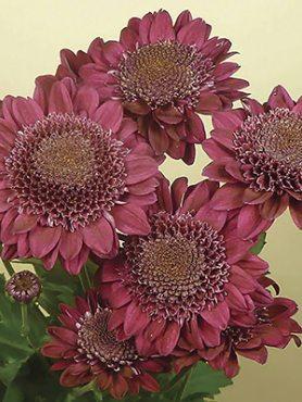 Хризантема срезочная Sagan® Purple (3 шт)