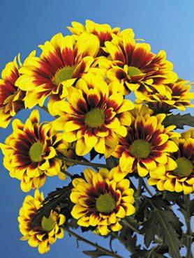 Хризантема срезочная Flairisse (3 шт)