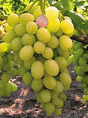 Виноград Єрмак (1 шт) - 1