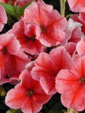 Петунія багатоквіткова Summer Madness F1, рожева з густими прожилками (10 шт)