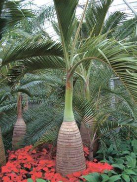 Пляшкова пальма (Хиофорбе бутылочноств) (3 шт)