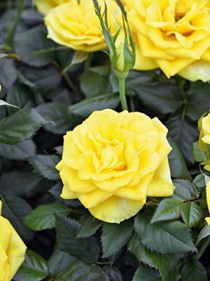 Роза горшечная Shining Star (1 шт) - 1