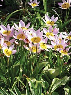 Тюльпан скельний Lilac Wonder 68 (3 шт)