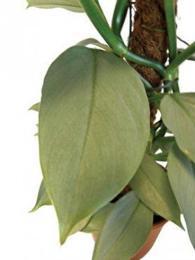 Филодендрон Gray (1 шт)