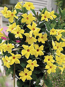 Дипладения Bloom Bells Yellow , 1 шт