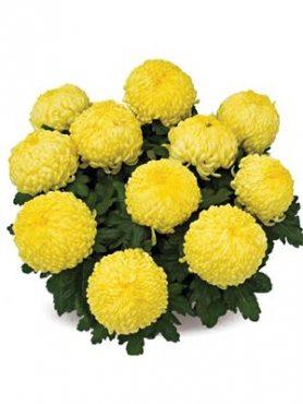 Хризантема горшечная Clotidou (3 шт)