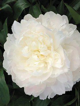 Півонія молочноквіткова Omeo Snow (1 шт)