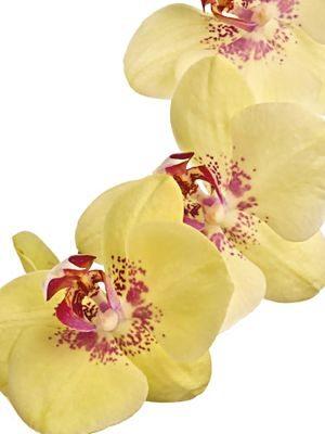 Фаленопсис гибридный Armion (1 шт) - 1