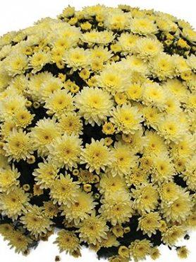 Хризантема мелкоцветковая низкорослая Branfountain Lemon (3 шт)