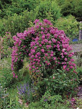 Роза в'юнка Perennial Blue (1 шт)