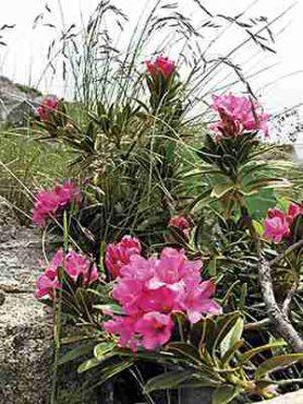Рододендрон ржавый, розовый (70 шт)