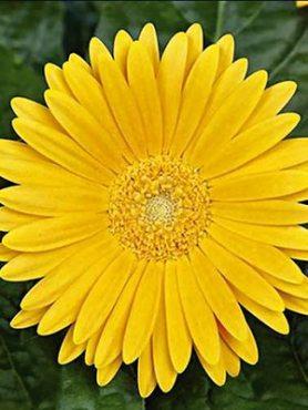 Гербера гібридна (садова) Garvinea Sweet Honey (1 шт)