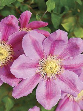 Клематис гібридний Pink Beauty (1 шт)