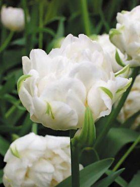 Тюльпаны Махровые поздние Mount Tacoma 1011 (3 шт)
