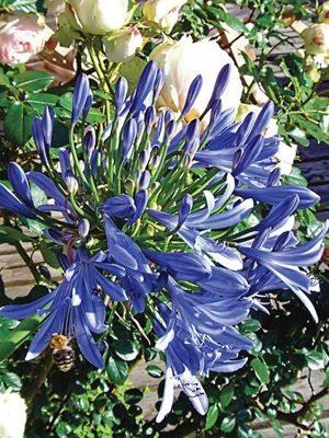 Агапантус, или нильская лилия голубой (1 шт) - 1