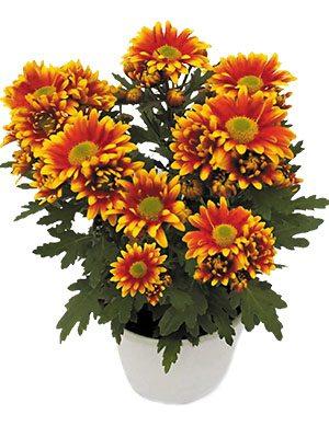Хризантема горшечная Hawaii (3 шт) - 1