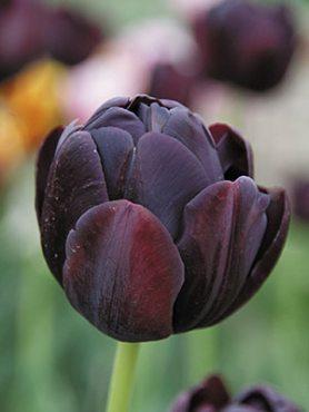 Тюльпаны Махровые поздние Black Hero 1112 (3 шт)